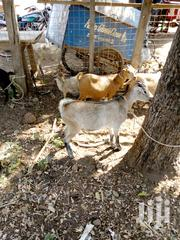 Goat For Sell | Livestock & Poultry for sale in Northern Region, Gushegu
