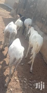 Sheep For Selling | Livestock & Poultry for sale in Northern Region, Yendi
