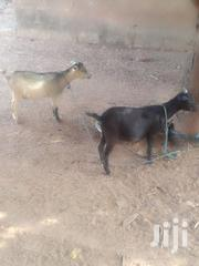 Goat For Sale | Livestock & Poultry for sale in Northern Region, Tamale Municipal