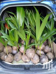 Coconut Seedling | Feeds, Supplements & Seeds for sale in Volta Region, Hohoe Municipal