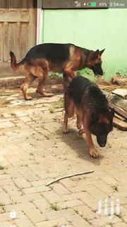 Young Female Purebred German Shepherd Dog | Dogs & Puppies for sale in Greater Accra, Bubuashie