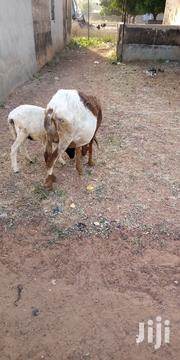 Sheep For Sale | Other Animals for sale in Northern Region, Tolon/Kumbungu