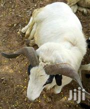 Adult Male Mixed Breed | Livestock & Poultry for sale in Northern Region, Gushegu