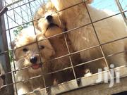 Young Male Purebred Poodle | Dogs & Puppies for sale in Greater Accra, Teshie-Nungua Estates
