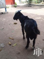 Male Black And White Goat | Livestock & Poultry for sale in Greater Accra, Adenta Municipal