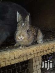 Rabbit | Livestock & Poultry for sale in Eastern Region, Asuogyaman