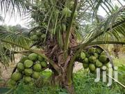 Dwarf Coconut Seedlings | Feeds, Supplements & Seeds for sale in Greater Accra, Tema Metropolitan