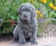 Baby Male Purebred Neapolitan Mastiff | Dogs & Puppies for sale in Greater Accra, Osu