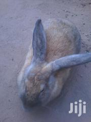 Big Matured Female Rabbit For Sale   Livestock & Poultry for sale in Greater Accra, Adenta Municipal