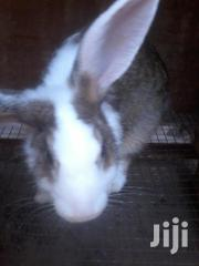 Healthy Live Rabbits For Sale | Livestock & Poultry for sale in Greater Accra, Adenta Municipal