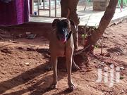 Adult Female Mixed Breed Boerboel | Dogs & Puppies for sale in Greater Accra, Nungua East