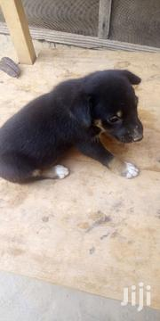 Baby Female Mixed Breed Mongrel | Dogs & Puppies for sale in Ashanti, Kumasi Metropolitan