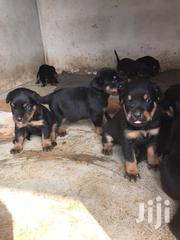 Baby Male Purebred Rottweiler | Dogs & Puppies for sale in Ashanti, Kumasi Metropolitan