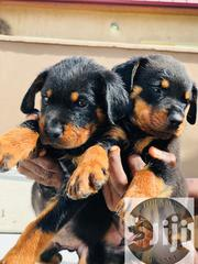 Baby Female Purebred Rottweiler | Dogs & Puppies for sale in Greater Accra, Ga West Municipal