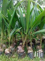 Malaysian Dwarf Coconut Seedlings | Feeds, Supplements & Seeds for sale in Ashanti, Kumasi Metropolitan