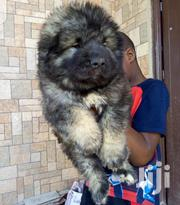 Young Male Purebred Caucasian Shepherd Dog | Dogs & Puppies for sale in Greater Accra, East Legon
