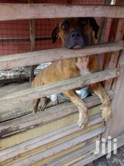 Adult Male Purebred Boerboel | Dogs & Puppies for sale in Greater Accra, Achimota