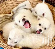 Baby Female Purebred Japanese Spitz | Dogs & Puppies for sale in Greater Accra, East Legon