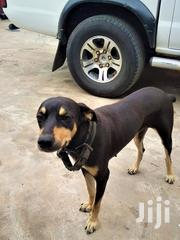 Adult Female Mixed Breed Rottweiler | Dogs & Puppies for sale in Greater Accra, Adenta Municipal