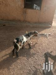 Goat For Sale | Livestock & Poultry for sale in Northern Region, Kpandai
