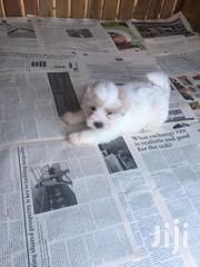Maltese Poodle Puppy For Sale | Dogs & Puppies for sale in Greater Accra, Ashaiman Municipal