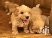 Baby Male Purebred Poodle   Dogs & Puppies for sale in Greater Accra, East Legon