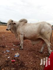 Adult Female Mixed Breed Mongrel | Livestock & Poultry for sale in Northern Region, Gushegu