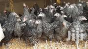 BLACK LAYERS AUSTRALORP N PLYMOUTH DAY OLD CHICKS   Livestock & Poultry for sale in Central Region, Awutu-Senya