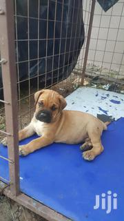 Baby Male Purebred Boerboel | Dogs & Puppies for sale in Greater Accra, Adenta Municipal