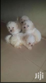 Selling | Dogs & Puppies for sale in Western Region, Ahanta West