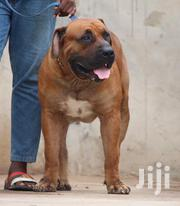 Baby Female Purebred Boerboel | Dogs & Puppies for sale in Greater Accra, Dansoman