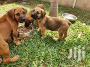 Baby Male Purebred Boerboel | Dogs & Puppies for sale in Greater Accra, Tema Metropolitan
