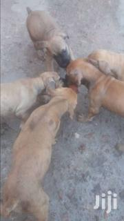 Boerboel Puppy   Dogs & Puppies for sale in Greater Accra, Ashaiman Municipal