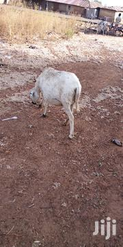 Sheep For Sale   Livestock & Poultry for sale in Northern Region, Tolon/Kumbungu