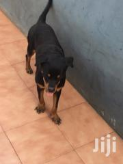 Young Female Purebred Rottweiler | Dogs & Puppies for sale in Greater Accra, East Legon