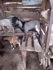 Goat | Livestock & Poultry for sale in Brong Ahafo, Sunyani Municipal
