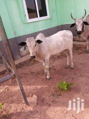 Cow For Seller | Livestock & Poultry for sale in Northern Region, Gushegu