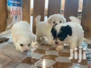 Baby Male Purebred Maltipoo | Dogs & Puppies for sale in Greater Accra, Tema Metropolitan