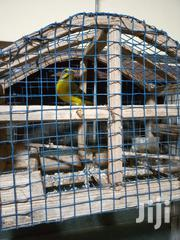 Canary Bird | Birds for sale in Greater Accra, Teshie-Nungua Estates