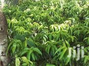 Grafted Exotic Mango Seedlings For Sale | Feeds, Supplements & Seeds for sale in Ashanti, Ahafo Ano South
