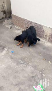Puppies Cross Breed | Dogs & Puppies for sale in Central Region, Cape Coast Metropolitan