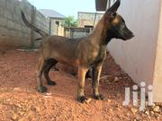 Baby Female Purebred Belgian Malinois   Dogs & Puppies for sale in Greater Accra, Adenta Municipal