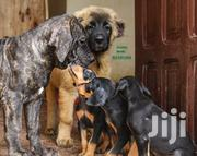Baby Female Purebred Boerboel | Dogs & Puppies for sale in Greater Accra, Airport Residential Area