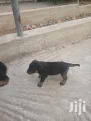Baby Male Purebred Rottweiler | Dogs & Puppies for sale in Greater Accra, Adenta Municipal