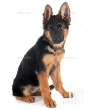 Young Male Purebred German Shepherd Dog | Dogs & Puppies for sale in Greater Accra, Abelemkpe