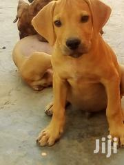 Young Female Purebred Boerboel | Dogs & Puppies for sale in Greater Accra, Teshie new Town