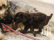 Baby Female Purebred Poodle   Dogs & Puppies for sale in Greater Accra, Airport Residential Area