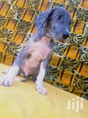 Young Male Purebred Great Dane   Dogs & Puppies for sale in Greater Accra, Dansoman