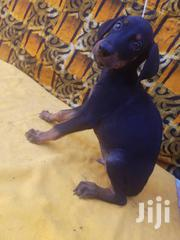 Young Female Purebred Doberman Pinscher   Dogs & Puppies for sale in Greater Accra, Dansoman