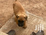 Young Female Purebred Boerboel | Dogs & Puppies for sale in Greater Accra, Dansoman